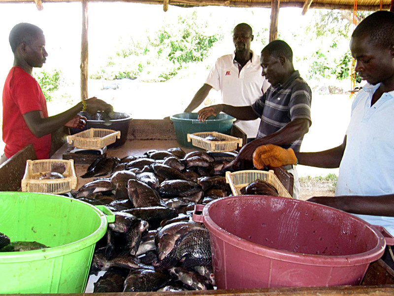 Harvesting African Blue - Poa Tilapia